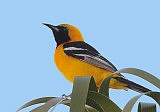 Hooded Orioles
